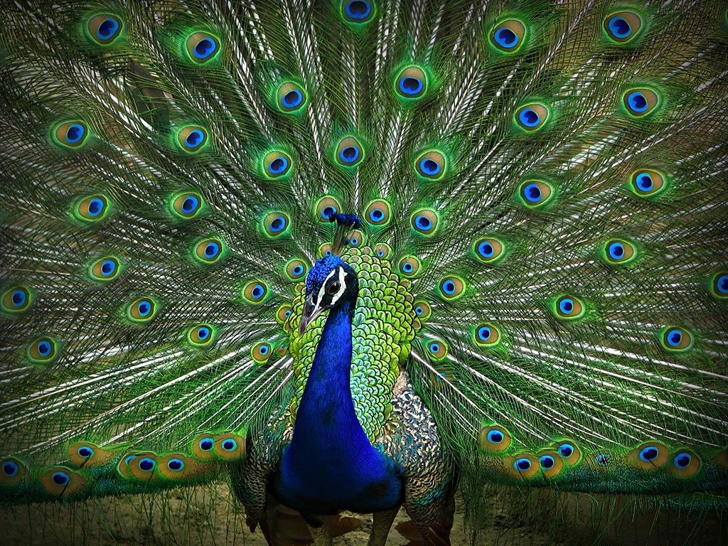exotic-peacock